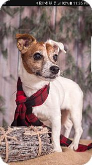 Jack Russell Terrier Dog for adoption in Union Grove, Wisconsin - Sugar Tassie-Adoption Pending