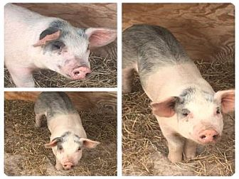 Pig (Farm) for adoption in West Palm Beach, Florida - HAMLET