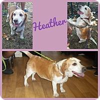 Beagle Dog for adoption in Okmulgee, Oklahoma - Heather