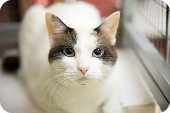 Calico Cat for adoption in St. Paul, Minnesota - Holiday