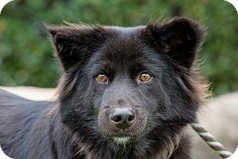 Jindo/Schipperke Mix Dog for adoption in San Diego, California - Ragnar