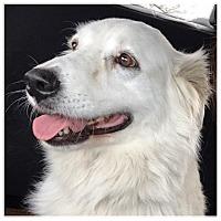 Adopt A Pet :: Shay - Kyle, TX