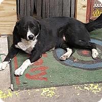 Adopt A Pet :: Sofia - San Antonio, TX