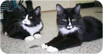 Domestic Shorthair Cat for adoption in Edmonton, Alberta - Stanley & Princeton