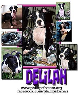American Bulldog/American Staffordshire Terrier Mix Puppy for adoption in Colleyville, Texas - Delilah
