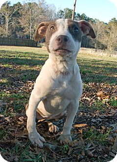 American Pit Bull Terrier Mix Puppy for adoption in Greensboro, Georgia - Nestle