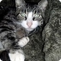 Domestic Shorthair Cat for adoption in Barnegat, New Jersey - Handsome Harry