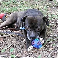 Adopt A Pet :: Hiker - Capon Bridge, WV