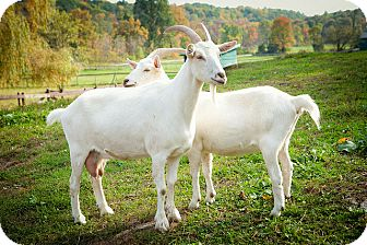 Goat for adoption in Saugerties, New York - Zoe