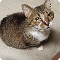 Domestic Shorthair Cat for adoption in Mesa, Arizona - Mama Mia