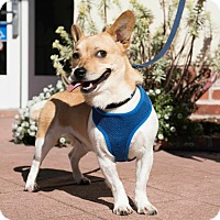 Adopt A Pet :: Bradley - Foster/Adopt - San Francisco, CA