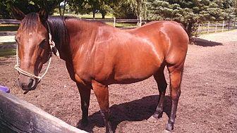 Quarterhorse Mix for adoption in Ortonville, Michigan - lexi