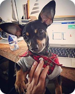 Chihuahua/Miniature Pinscher Mix Dog for adoption in San Diego, California - Cullen
