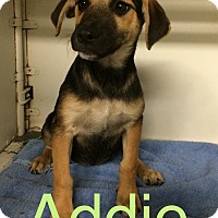 Adopt A Pet :: Addie in CT - Manchester, CT