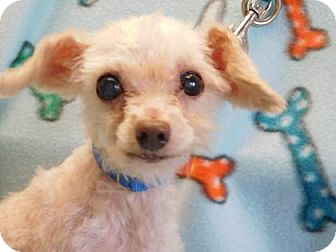 Maltese Mix Dog for adoption in Freeport, Illinois - Olie