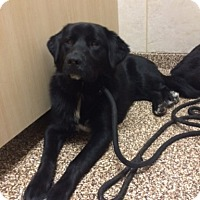Border Collie/Labrador Retriever Mix Puppy for adoption in Salisbury, North Carolina - Madison