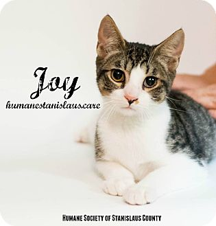Domestic Shorthair Kitten for adoption in Modesto, California - Joy