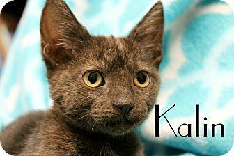Domestic Shorthair Kitten for adoption in Wichita Falls, Texas - Kalin