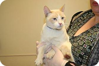 Domestic Shorthair Cat for adoption in Wildomar, California - Sir Henry Wilson