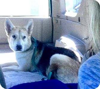 German Shepherd Dog/Husky Mix Dog for adoption in Las Vegas, Nevada - Frostee