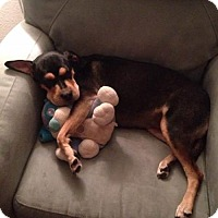 Rottweiler Mix Dog for adoption in Dallas, Texas - Luna IV
