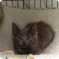 Domestic Longhair Kitten for adoption in Centreville, Virginia - Theadora