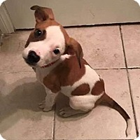Pit Bull Terrier Puppy for adoption in Los Angeles, California - Layla