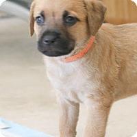 Adopt A Pet :: Cinnamon's baby Clou - Miami, FL