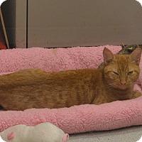 Domestic Mediumhair Cat for adoption in Boston, Massachusetts - LILY