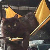 Domestic Longhair Kitten for adoption in Denver, Colorado - Midnight