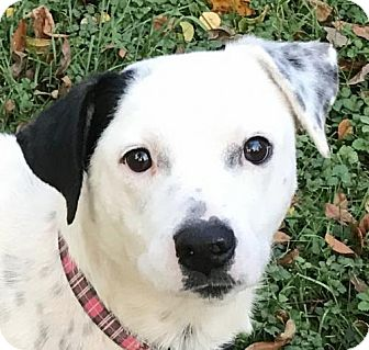 Dalmatian Mix Dog for adoption in Indianapolis, Indiana - Griffin
