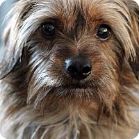 Adopt A Pet :: Scruffy - Mount Laurel, NJ
