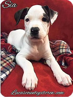 American Pit Bull Terrier/American Bulldog Mix Puppy for adoption in Toledo, Ohio - Sia
