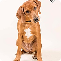 Adopt A Pet :: Ginger - Terre Haute, IN