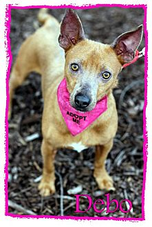 Miniature Pinscher/Chihuahua Mix Dog for adoption in Griffin, Georgia - Debo