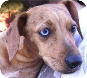 Gracie Adopted Dog Greensboro Nc Italian Greyhound Dachshund Mix