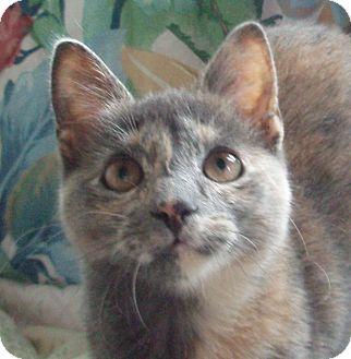 Domestic Shorthair Cat for adoption in Germansville, Pennsylvania - Kitkat