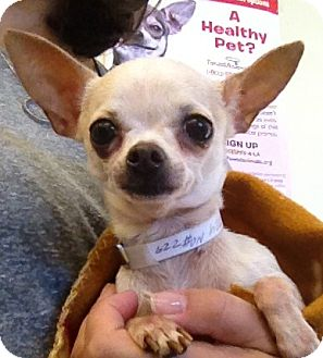 Chihuahua Dog for adoption in Studio City, California - Sugar (3.5 lbs.)
