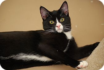 Domestic Shorthair Kitten for adoption in Bensalem, Pennsylvania - Molly