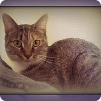 Abyssinian Cat for adoption in Laconia, Indiana - Rue Bee