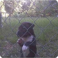 Adopt A Pet :: Robo - 8wks old - ask 4 pic - Greenville, SC