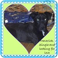 Adopt A Pet :: Baby Maverick - Marlton, NJ
