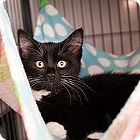 Adopt A Pet :: Purrsilla - Shelton, WA