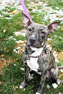 Shepherd (Unknown Type) Mix Dog for adoption in Detroit, Michigan - Milky Way