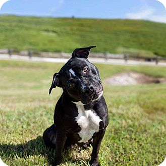 American Staffordshire Terrier Mix Dog for adoption in Apex, North Carolina - Daisy Duchess