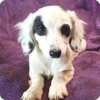 Adopt A Pet :: Sierra - Lawrenceville, GA