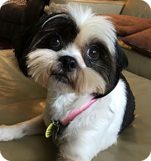 Lhasa Apso Mix Dog for adoption in Euless, Texas - Sage Chase