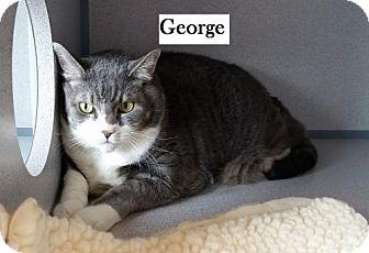 Domestic Shorthair Cat for adoption in Lakewood, Colorado - George