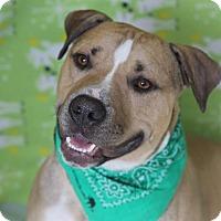 English Bulldog/Shepherd (Unknown Type) Mix Dog for adoption in Dearborn, Michigan - Brock