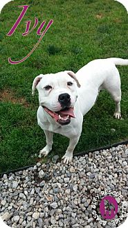American Bulldog/American Staffordshire Terrier Mix Dog for adoption in Middlebury, Connecticut - Ivy